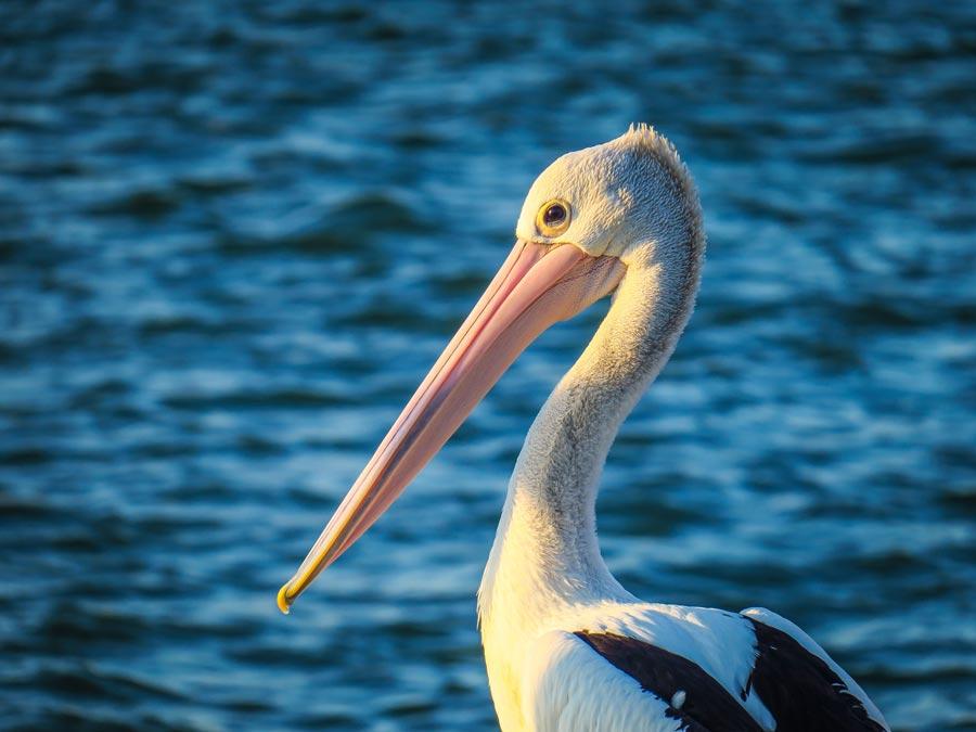sunshine-coast-property-pelican
